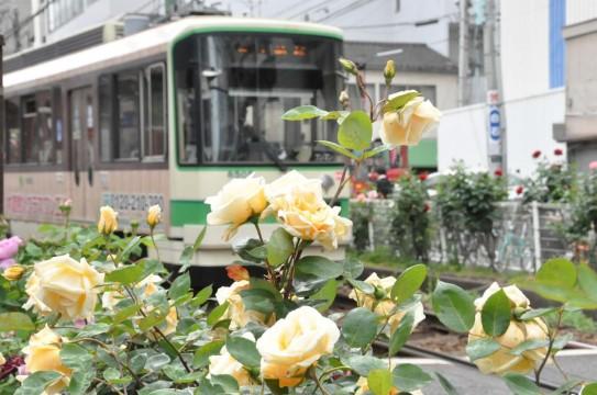 thumbnail_大塚のバラ SDSC169