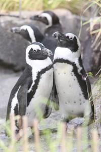 ラブラブペンギンカップル 武蔵&のんちゃん