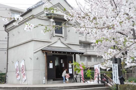 Kura and cherry blossoms