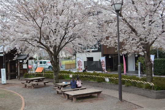 Cherry blossoms are in full bloom at the gate and the open space