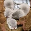 コツメカワウソの赤ちゃん 3姉妹