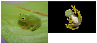 Fleischmann Tree Frog